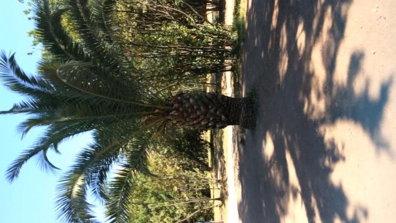 Большой ананас в шляпе 🍍 Palatino excursions 😅