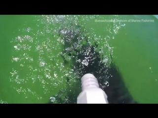 Great White Shark Caught On Camera In Mass. (1)