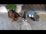 Допрос двух собак Кто съел тапок