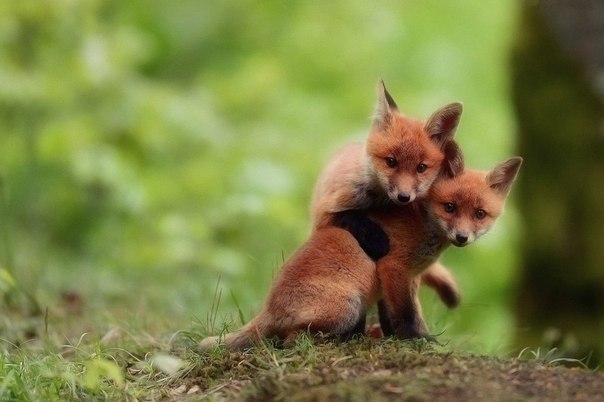 Small foxes