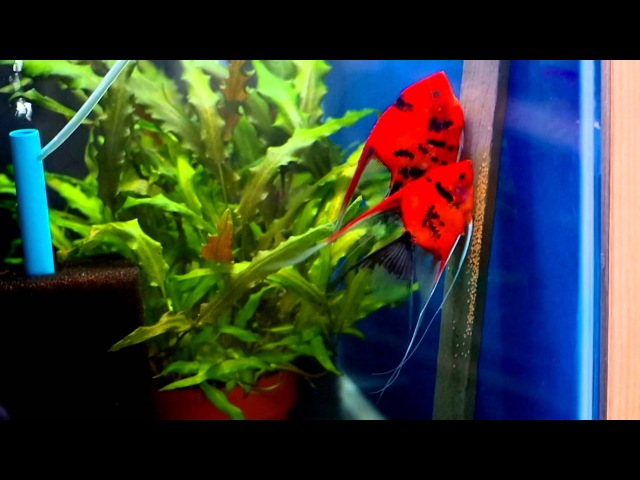 Angelfish Breeding Pair 1051