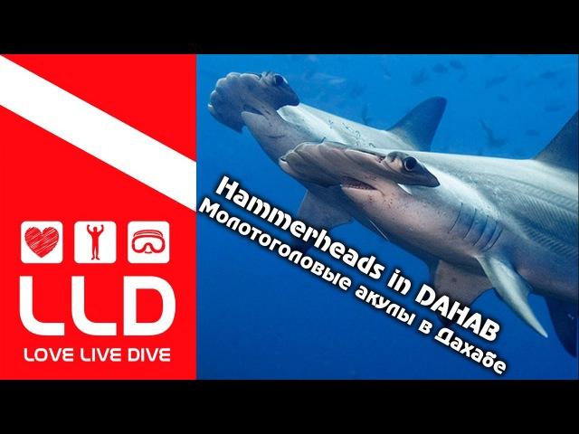 Hammerheads. Dahab. scuba diving Молотоголовые акулы в Дахабе. Дайвинг