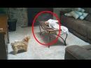 15 Страшных Видео, Когда Домашние Животные Увидели Настоящего Призрака