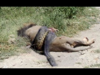 Amazing Predators Fight - Big Battle Animals , Lion vs Anaconda, Monkey Attacks Girl #2