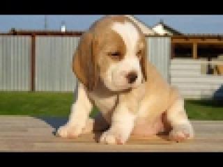 Бигль Полное описание ПОРОДЫ The Beagle Full description of BREED