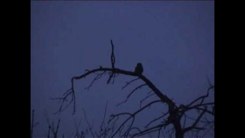 Little Owl Call Athene noctua