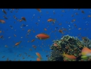 Подводный мир Красного моря. Коралловый мир Египта. Underwater coral kingdom Kin
