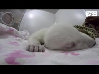 Полярные медвежата тоже любят спать с игрушками