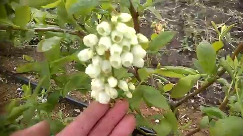 Цветение плантации голубики , обзор сортов . 26.05.2017г.