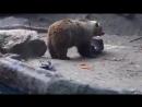 Urso Salvando a ave de afogamento