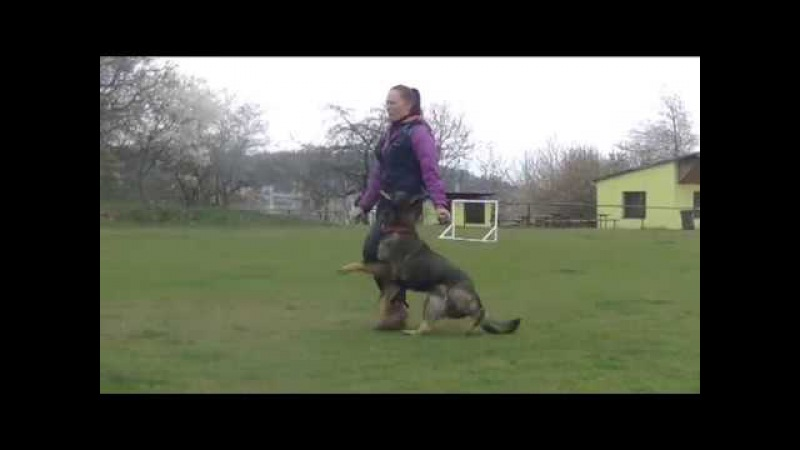 Coxi Vamoz Bohemia - obedience 20 months