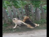 German Shepherd vs Kangal territorial fight!!!
