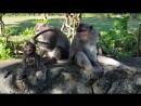 Мохнатые сорванцы )) Бали, храм Holy Cliff в Uluwatu