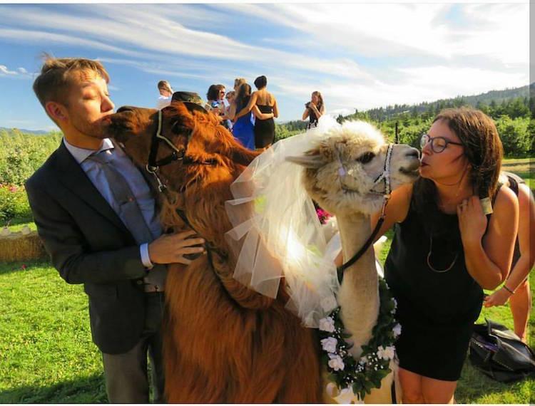 Как пригласить на свою свадьбу ламу (16 фото). Животные на свадьбе. Ведущий на свадьбу Волгограда Павел Июльский +7(937)-727-25-75 и +7(937)-555-20-20