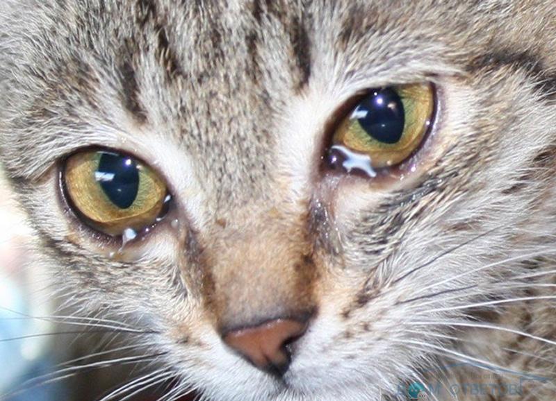 новорожденного бурые слезы у кошек проводить