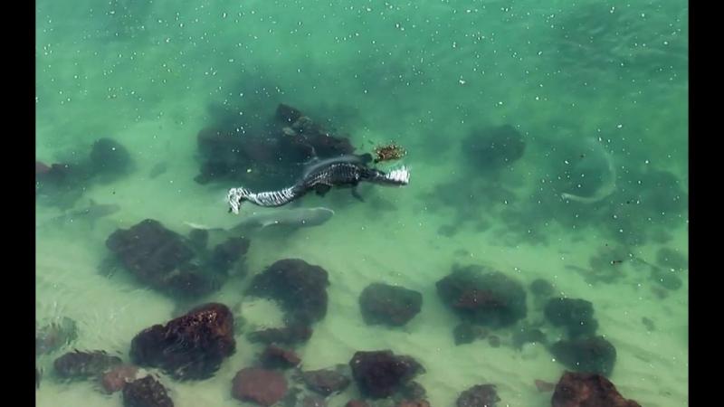 Гребнистый крокодил пугает акулу, попытавшуюся его укусить