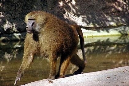 Найдены говорящие обезьяны