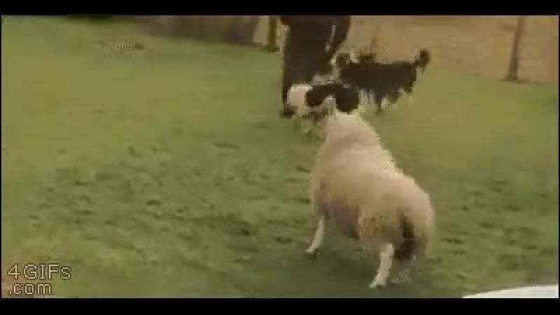 овца думает,что она собака