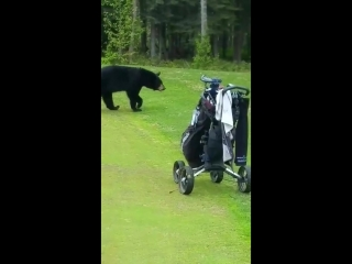 Медведь зашёл за закуской на поле для гольфа