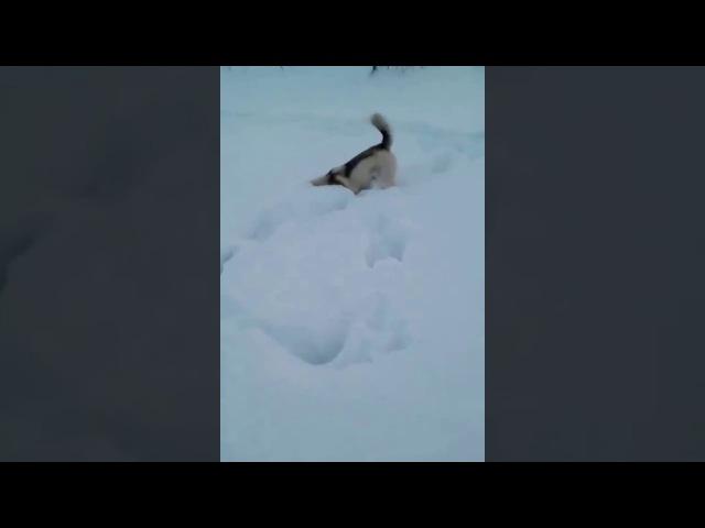 Сибирская хаски ловит мышей под снегом