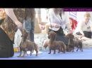 Монопородная Выставка Такс Ранга Победитель Клуба. Санкт-Петербург 22 апреля 2017 г. Часть 3