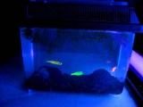 Рыбки Данио GloFish под ультрафиолетом