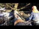 Chainsaw Husqvarna 562 XP, felling a tree 130 years old, 6 cm3