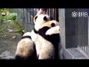 Четыре панды при помощи командной работы пытаются сбежать