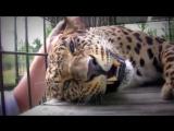 Леопард мурчит)))