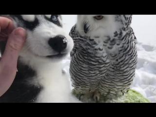 Маленький хаски целуется с белой совой