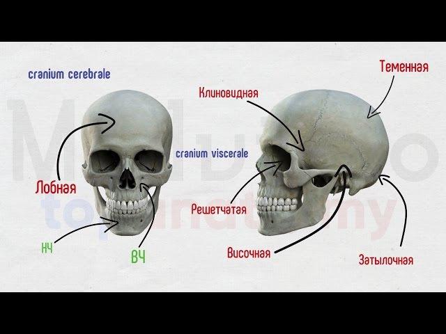 Череп 1: Лобная и клиновидная кости
