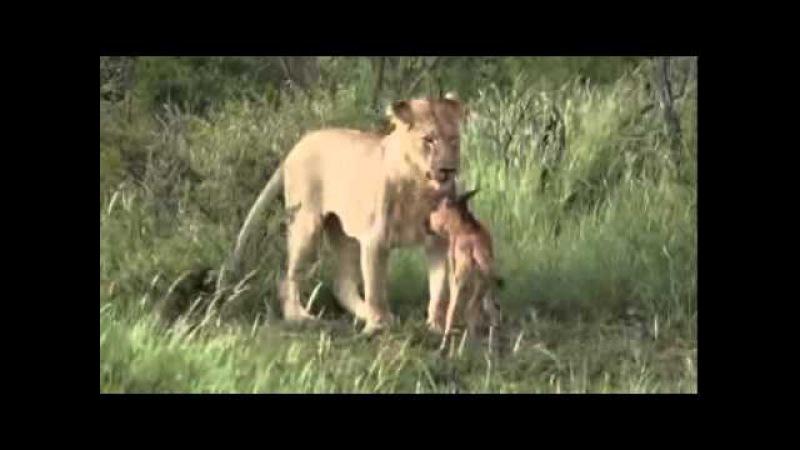Львица защищает антилопу от нападения.