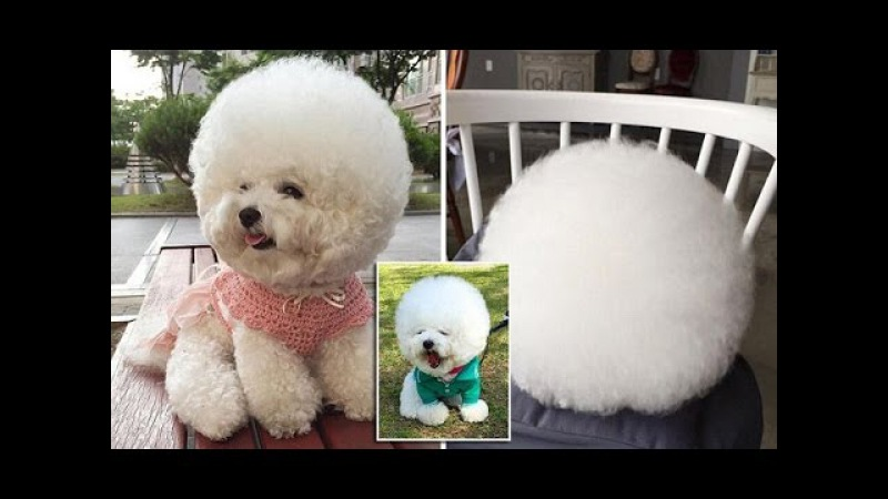 Is it a cotton ball? A cloud? It's the world's cutest Bichon Frise