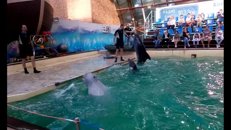 дельфины Дези и Клаус и белуга Федя носят кольца в ростовском дельфинарии 28 05 17