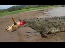 악어 싸움 사자 vs 트라이치 침구 - Crocodile vs lion vs tiger Fight to Death