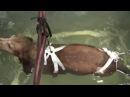 Реабилитация собаки в бассейне после операции на позвоночнике