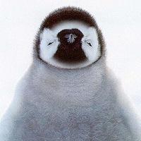 Пингвин Милый фото