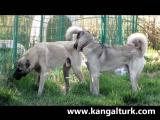 The Turkish Kangal