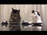 Коты аристократы