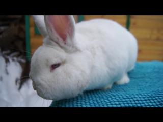 Кролик НЗБ, кличка Роббик, 1 год