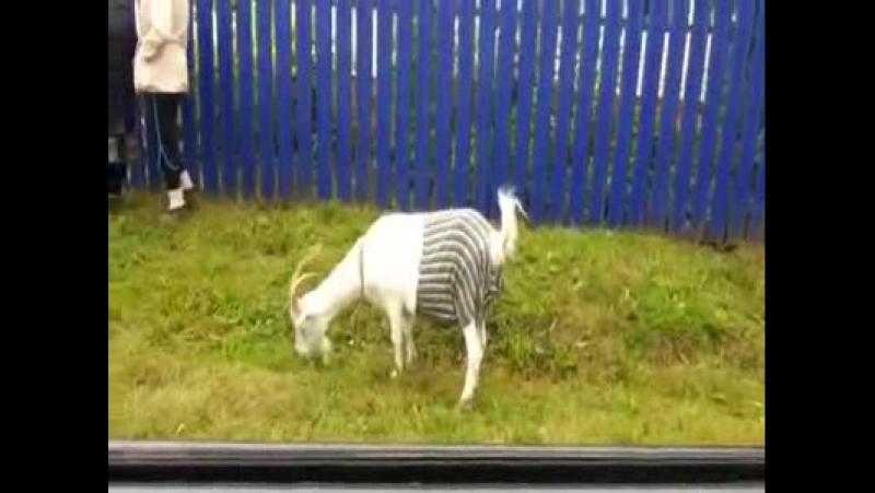 Минзәлә районында кәҗәләр дә трусик киеп йөри