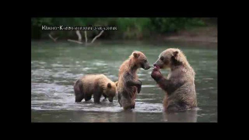 Как медведи делают это? Бурый медведьДикая природа России.