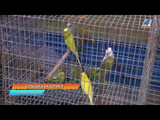 Папуги, фазани та павичі живуть у селі Малий Ходачків Тернопільського району
