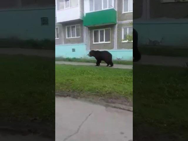 4.06.17 Медведь ходит по улицам в городе Вилючинск на Камчатке