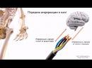 Нервная система. Рефлекторная дуга | Урок 7, часть 1 | Видеоуроки по массажу