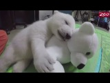 Adorable polar bear cub, rejected by her mother doing great at Columbus Zoo