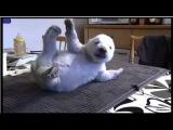 Siku, the adorable Danish polar bear @ ttwick