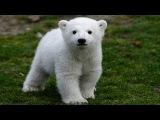 Knut the Polar Bear's Life  Berlin Zoo