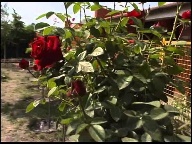 Штамбовые розы Полезная информация из частного питомника роз Рязанова