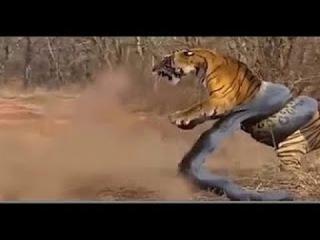 Giant Anaconda vs Lion vs Tiger vs Python - Wild Animal Attacks